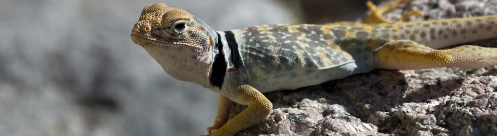 Collared Lizard in Saline Valley
